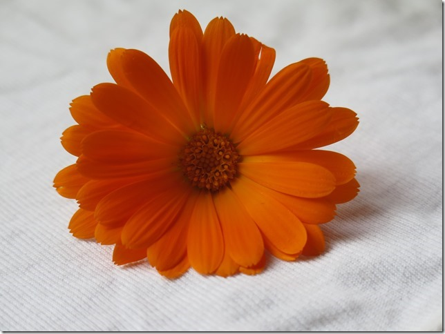 Kopf einer Ringelblume, lange schmal Blütenblätter um eine runde Mitte