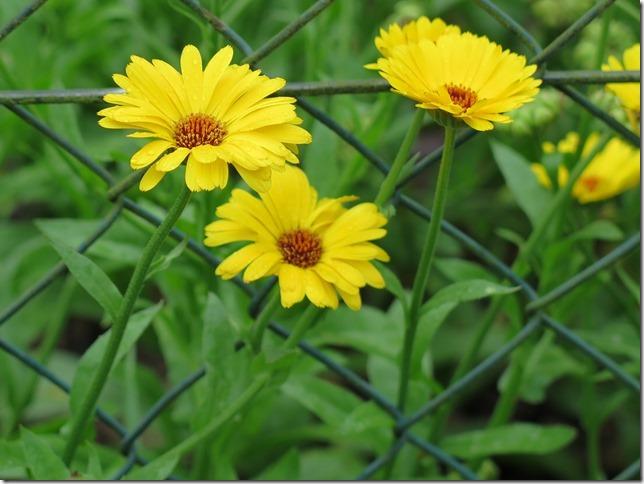 drei sonnengelbe Ringelblumen vor einem Maschendrahtzaun
